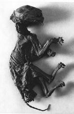 Thumbnail image of Mummified cat