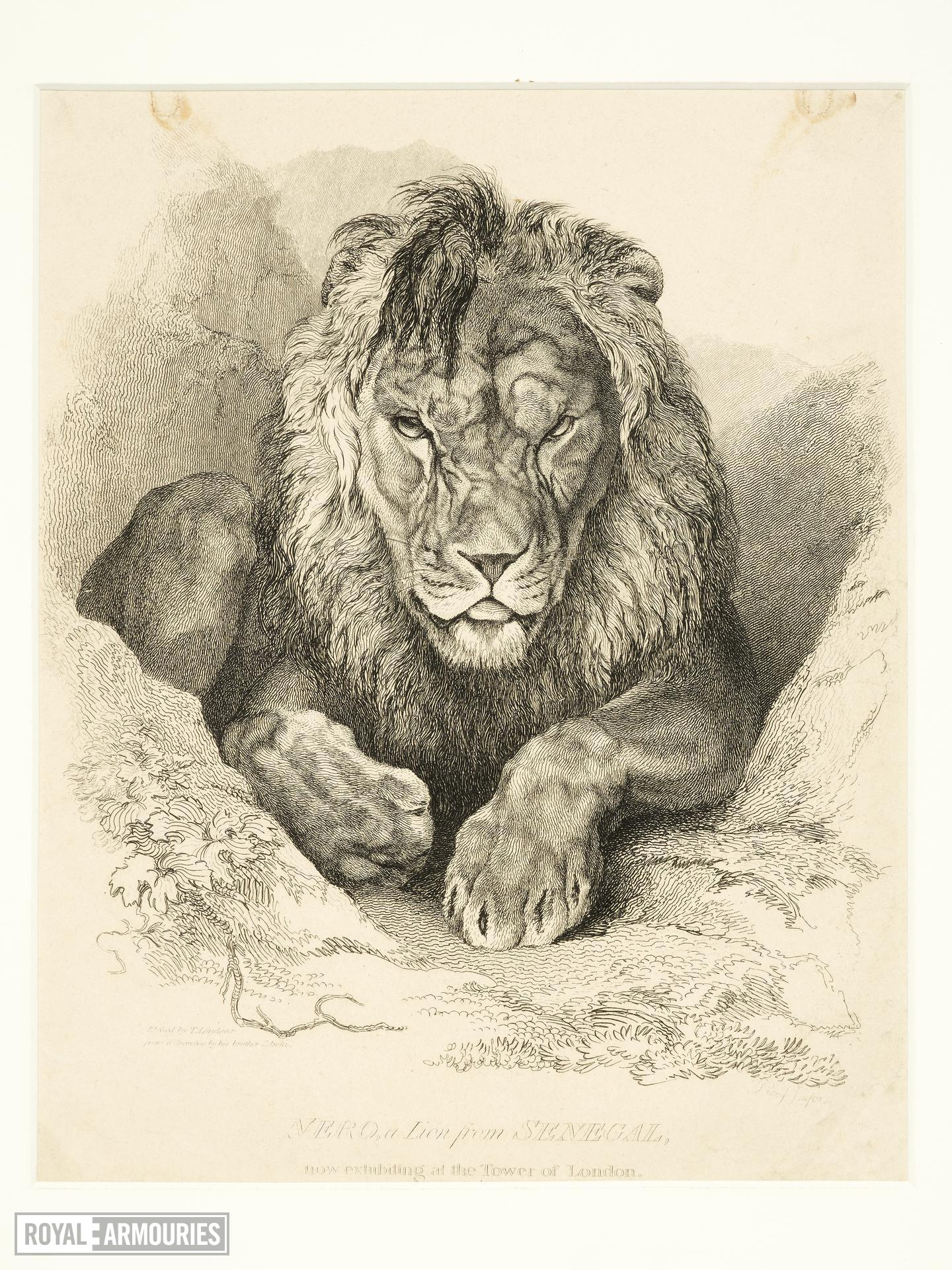 Print Engraved illustration 'Nero, a Lion from Senegal, now exhibiting at the Tower of London'.