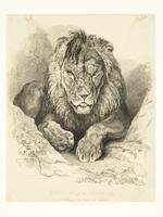 Thumbnail image of Print Engraved illustration 'Nero, a Lion from Senegal, now exhibiting at the Tower of London'.