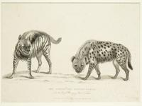 Thumbnail image of Print Entitled 'The Striped and Spotted Hyoenas', dated 1 May, 1830.
