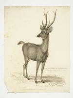 Thumbnail image of Print Entitled 'Rusa Deer', dated 1 May,  1830.
