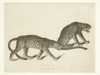 Thumbnail image of Print Entitled 'The Leopards in the Royal Menagery, Tower of London', dated 1 June, 1829.