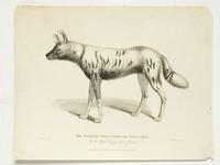 Thumbnail image of Print Entitled 'The Tortoiseshell Hyaena in the Royal Menagery, Tower of London', dated 1 January, 1830.