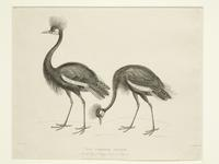 Thumbnail image of Print Entitled 'The Crowned Cranes in the Royal Menagery, Tower of London', dated 1 February, 1830.