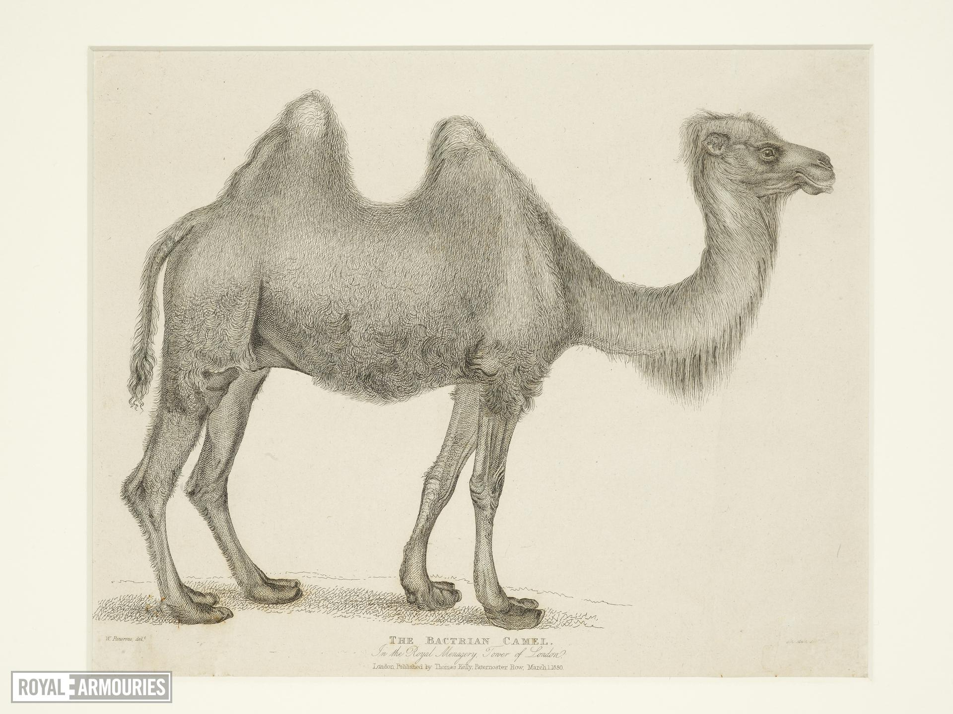 Print Entitled 'The Bactrian Camel in the Royal Menagery, Tower of London', dated 1 March, 1830.