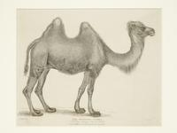Thumbnail image of Print Entitled 'The Bactrian Camel in the Royal Menagery, Tower of London', dated 1 March, 1830.