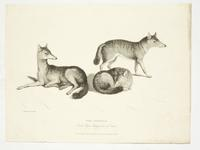Thumbnail image of Print Entitled 'The Jackals in the Royal Menagery, Tower of London', dated 1 April, 1830.