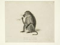 Thumbnail image of Print Entitled 'The Dog-Faced Baboon in the Royal Menagery, Tower of London', dated 1 May, 1830.